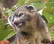 Ученые открыли новый вид млекопитающих в Эквадоре