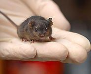 Ученые в Японии клонировали мышь с помощью капли крови<br />