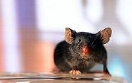 Ученые из США имплантировали в мозг мыши искусственные воспоминания<br />