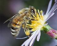 Ученые научили пчел искать мины<br />